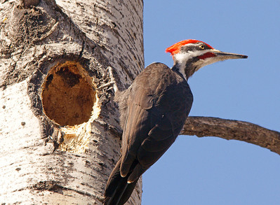 Pileated Male Hard At Work