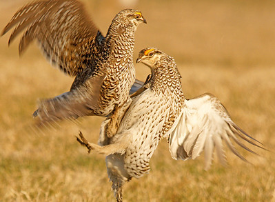 Sharp-tailed Grouse Dancing 4