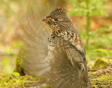 Drumming Ruffed Grouse 2
