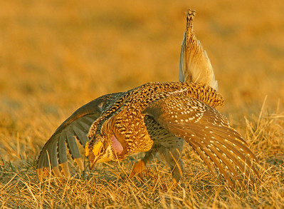 Sharp-tailed Grouse Dancing 2
