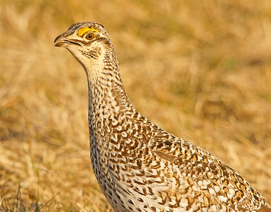 Sharp-tailed Grouse 5