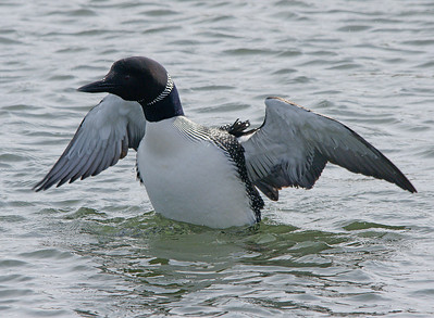 Lake Superior Loon 1