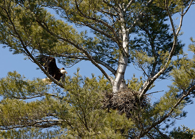 Bald Eagles Indian Lake 1