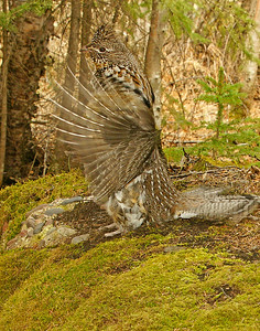 Drumming Ruffed Grouse 6