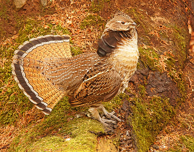 Displaying Ruffed Grouse 001