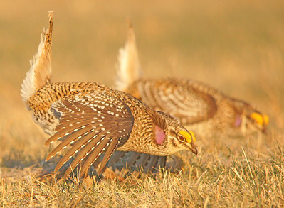 Sharp-tailed Grouse 002