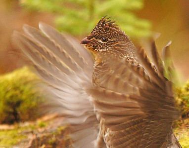 Cascade Ruffed Grouse 002