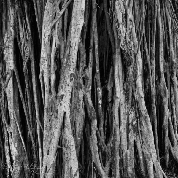 Roots of Life - Pipiwai Trail, Maui, HI
