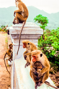 "Sri Lankan Temple Monkeys - Live only in Sri Lanka  The toque macaque (Macaca sinica) is a reddish-brown-coloured Old World monkey endemic to Sri Lanka, where it is locally known as the rilewa or rilawa (Sinhala රිළවා), (hence ""rillow"" in the Oxford English Dictionary). It is named for the toque-shaped whorl of hair on its head, rather like the bonnet of the related bonnet macaque.  It lives in troops, sometimes numbering up to 20, and has developed into three subspecies. This is a medium-sized monkey, although it is the smallest living species of macaque. It has a head and body length of 35–62 cm (14–24 in), a tail length of 40–60 cm (16–24 in). Males, at a weight of 4.1 to 8.4 kg (9.0 to 19 lb), can occasionally attain much larger sizes than females, at a weight of 2.3 to 4.5 kg (5.1 to 9.9 lb).  Troops of the toque macaque are a common sight in the Cultural Triangle, where many ancient temples are situated, hence earning them the nickname ""temple monkey"".  Toque macaques live only in Sri Lanka. They look very different depending on their habitat. Toque macaques prefer natural forest land ranging from sea-level up to 6,000 feet. Those living in cold climates have thick, dark brown fur and short limbs and tails, while those living in the lowland rainforest have reddish or golden colored coats and long umbrella-like bonnets. The dry zone race has light coats, long limbs and short bonnets or toque hair.  Toque macaques are omnivores and like to eat fruit, seeds, nuts, mushrooms, tubers, invertebrates and occasionally animals, including reptiles and birds. All are expert raiders of crops where humans encroach on their habitat.  Wild cats (leopards and fishing cats) and python snakes are the main predators of this species. Unfortunately, the toque macaque is endangered; their rainforest home is being cut down for logging and for farming.  The two recognized subspecies of toque macaques are:      Dryzone toque macaque, M. s. sinica     Wetzone toque macaque, M. s. aurifrons (Source: Wikipedia)"