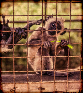 Baby monkey, in a cage, with its mother, on the beach. Negombo, Sri Lanka. (1980, Ektachrome)