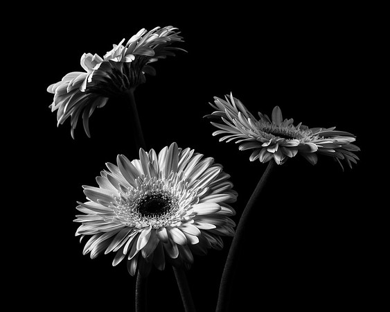 Gerbera Trio in Monochrome