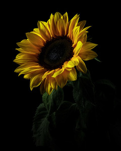 Glowing Sunflower