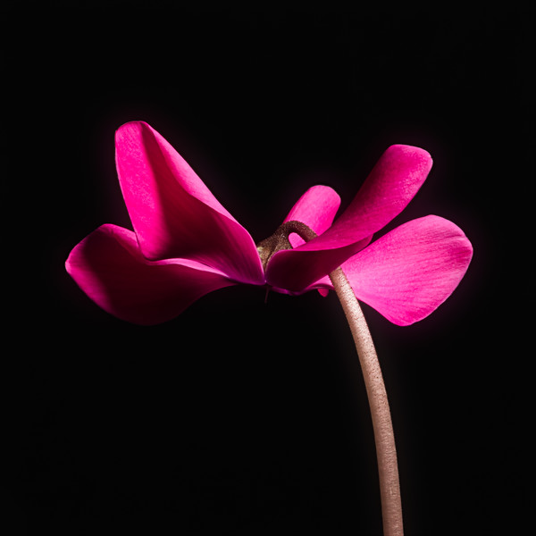 Helicopter - A single pink cyclamen flower photographed against a black background