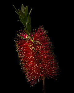Scarlet Bottlebrush Blossom