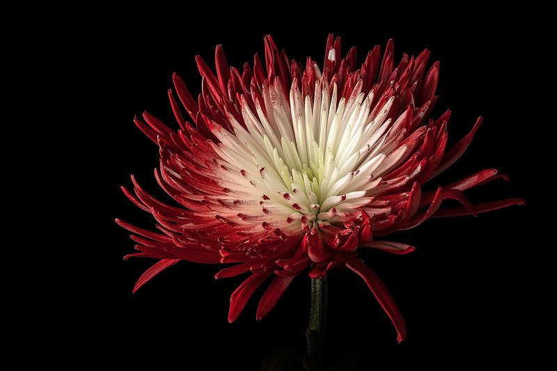 Red and White Chrysanthemum