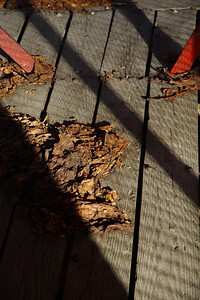 IMG#0022 Farm raised North Carolina Tobacco leaves