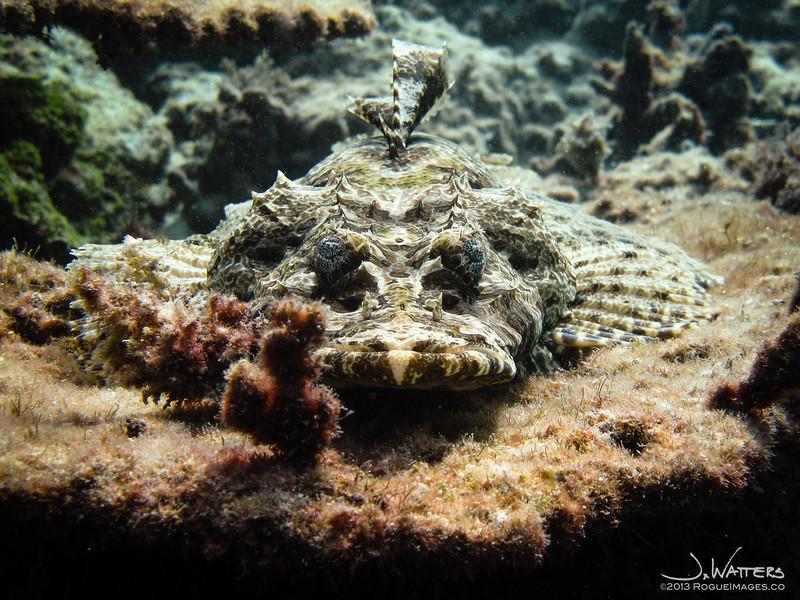 Crocodile Fish