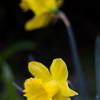 A Little Daffodil<br /> A Little Daffodil