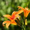 Orange Flower<br /> Orange Flower