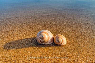 Ocean Snails