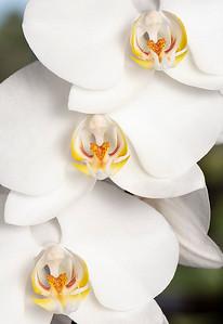C_Set_orchid-Wayne Smith