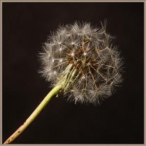 Dandelion in frame