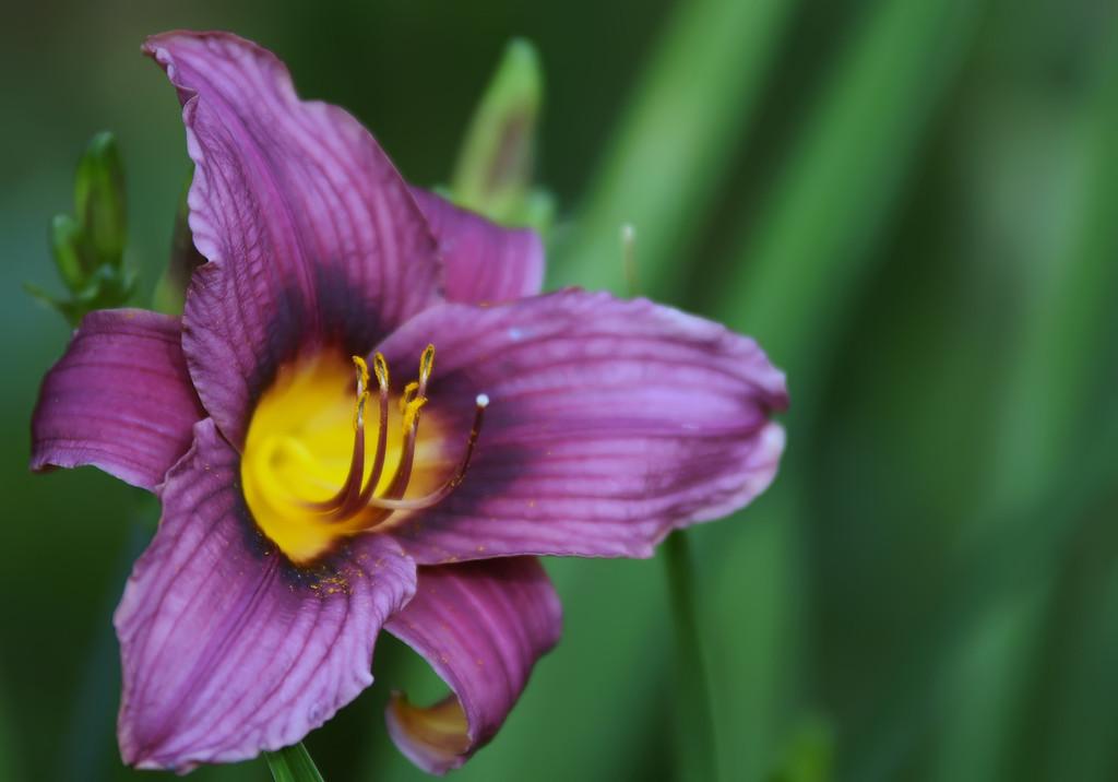 beautiful purple lilies in garden, close up