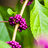 A String of Beautiful Bright Purple Berries, Growing in Carolina.