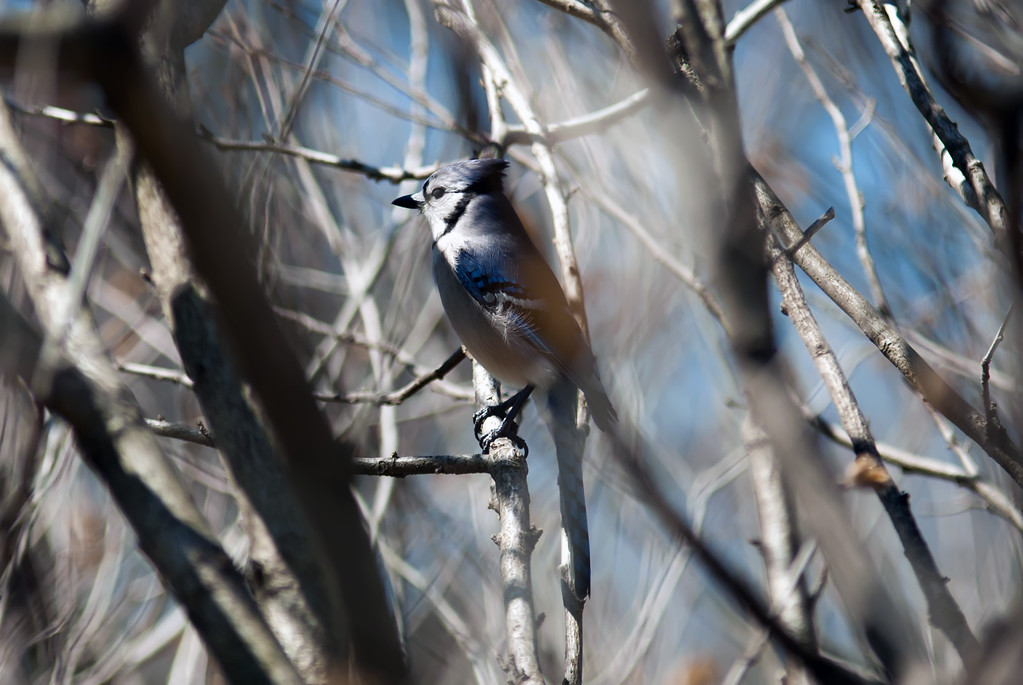 A Blue Jay Perched in a Tree