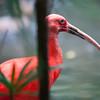 Scarlet Ibis bird with long beak perched in tree