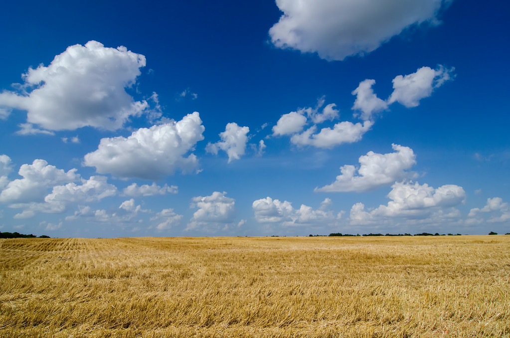 harvest ready farm field with blue sky