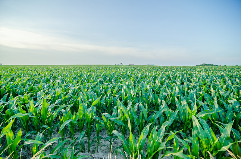 Corn field before sunset with clear sky
