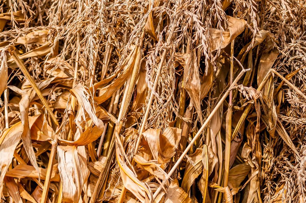 harvested corn leftovers stalks