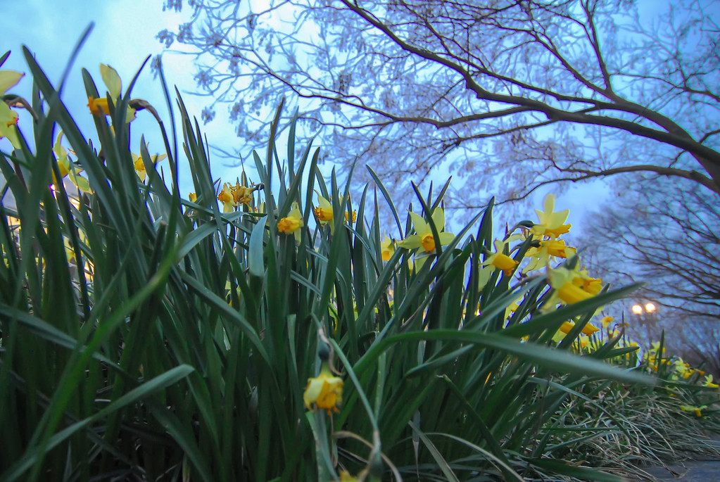 daffodils on a lawn meadow