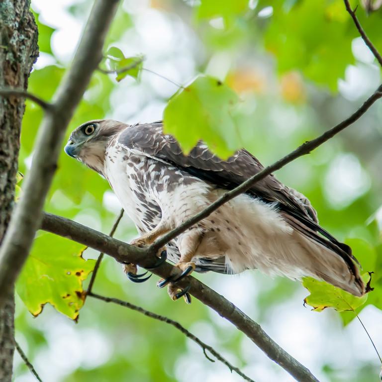 hawk hunting for a squirrel on an oak tree