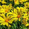 close up of a bunch of yellow daisies