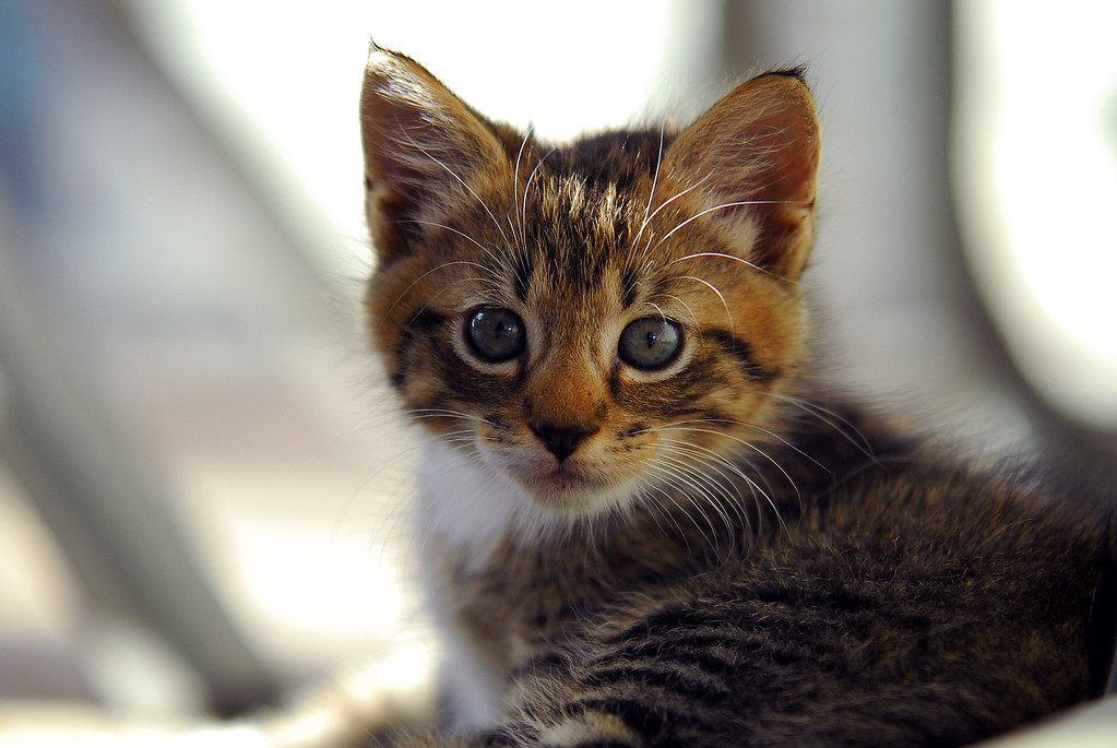 cute and Curious striped  kitten