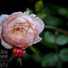Peach Rose with Buds
