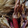 Harvest Red Corn