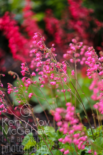 Coral Bells, red and pink