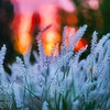 Fountain Grass Sunset