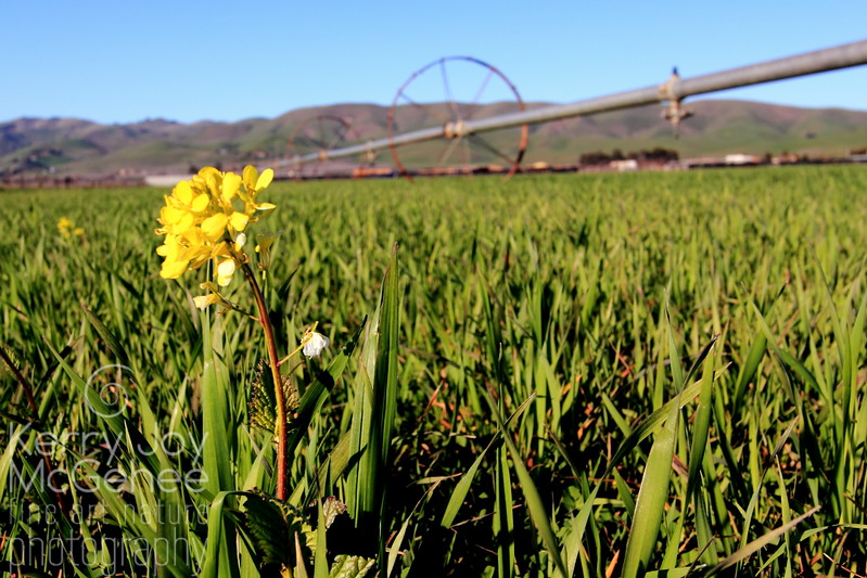"""Mustard Blossom"", Stanley Ranch, Livermore, CA"