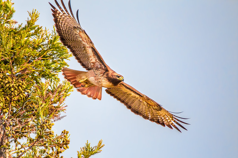 Red-tailed Hawk Span
