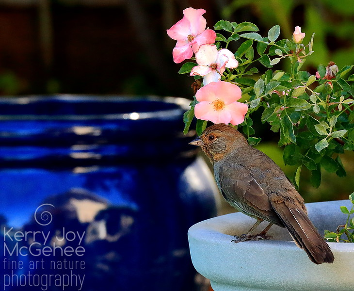 Towhee with Roses