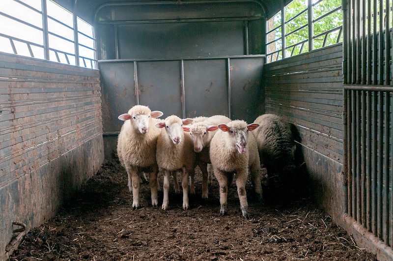 Dylan Buell   dylanphotog@gmail.com   @dylanphotog<br /> A group of sheep stand in a trailer before being taken to be sold in Lexington.