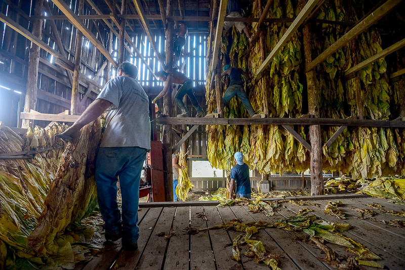 Dylan Buell | dylanphotog@gmail.com | @dylanphotog<br /> Bruce Quarles, along with migrant workers, hang tobacco leaves in a barn to be dried.
