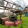 Dylan Buell | dylanphotog@gmail.com | @dylanphotog<br /> Travis Quarles use a lawnmower to trim the tops of young tobacco plants.