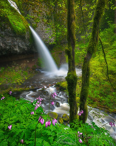 """PONYTAIL FALLS, WILDFLOWERS""Columbia Gorge, OregonSpring's wildflowers frame this iconic falls in Oregon's Columbia Gorge.© Chris Moore - Exploring Light PhotographyPURCHASE A PRINT"