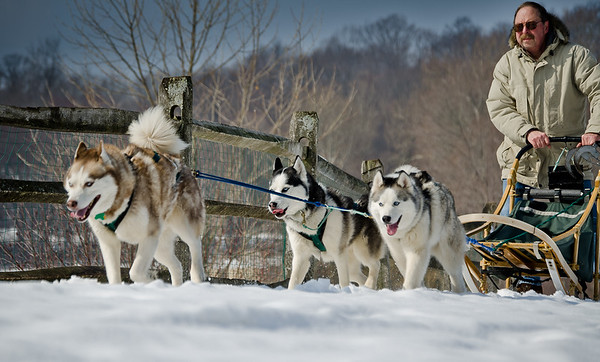 Sled dogs at Lyman Orchards Winterfest 2011