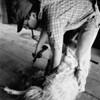 sheep shearing rz